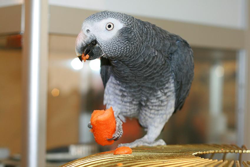 Papuga jedząca marchewkę w klatce, a także pokarm i karma dla papug