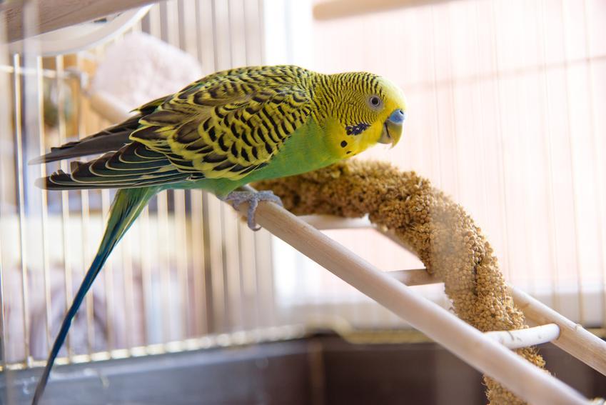 Papuga w klatce w domu, a także ile żyje papuga i długość życia papugi