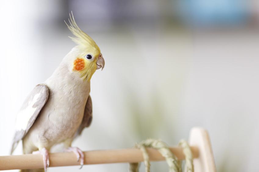 Papuga nimfa na drążku w domu, a także oswajanie papugi nimfy krok po kroku