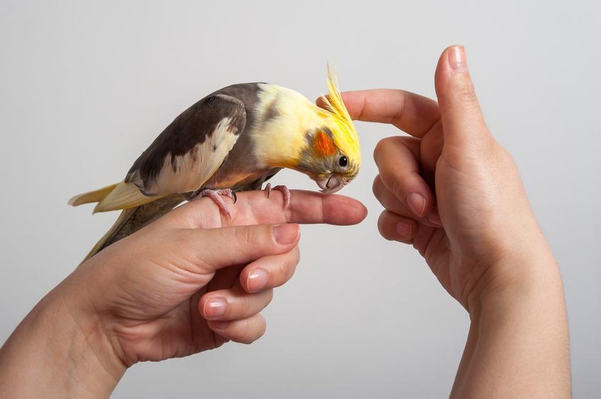 Papuga nimfa głaskana przez właściciela, a także oswajanie papugi nimfy w domu
