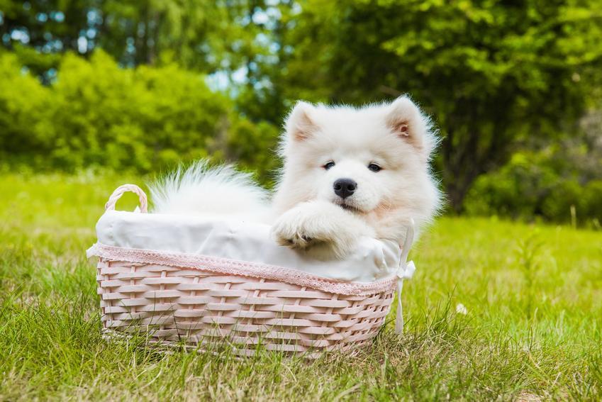 Szczeniak rasy samojed w koszyku na trawie, a także cena szczeniaka samoyeda