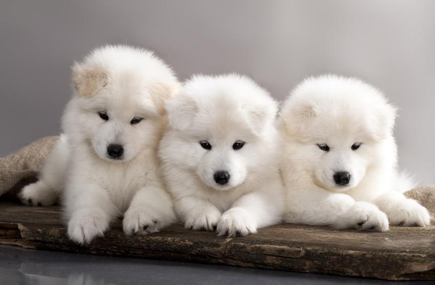 Szczeniaki samoyeda i ważne informacje, a także cena za szczeniaka rasy samojed z rodowodem