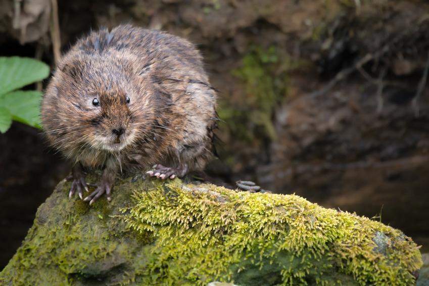 Gryzoń szczur wodny lub karczownik na łonie natury, a także porady i zwalczanie
