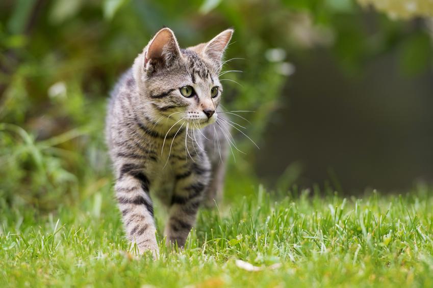 Kot na podwórku na trawniku, a także porady, jak odstraszyć koty i czym odstraszyć koty