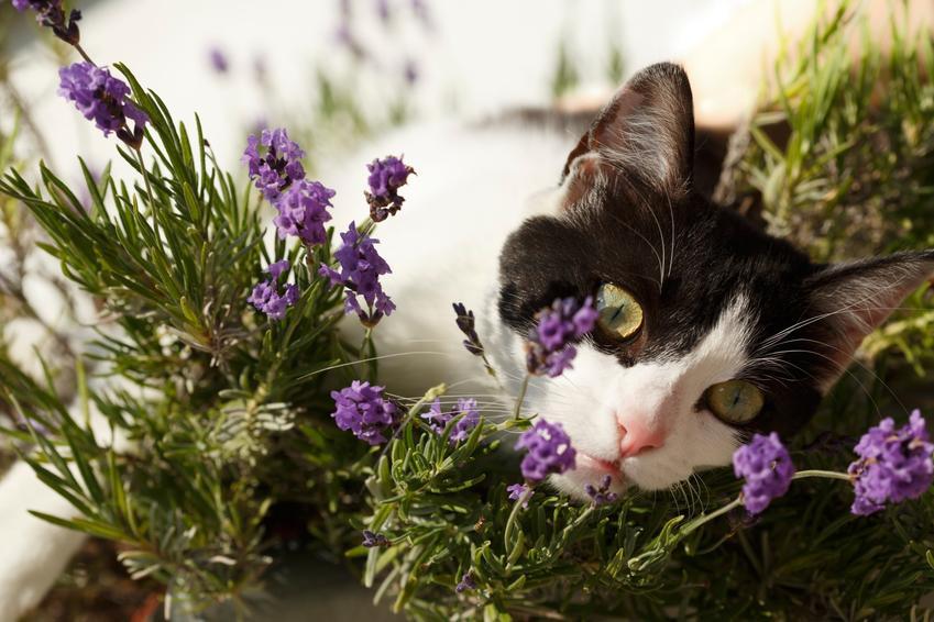 Kot w kwiatach lawendy, a także porady i sposoby, jak odstraszyć koty i czym odstraszyć koty