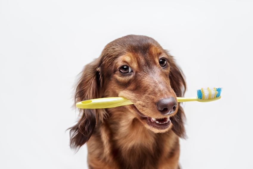 Pies trzymający w pysku szczoteczkę do zębów oraz brzydki zapach z pyska psa i przyczyny