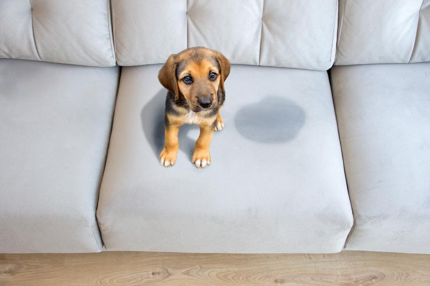 Pies przy mokrej plamie na kanapie oraz porady, jak nauczyć psa załatwiać się na dworze