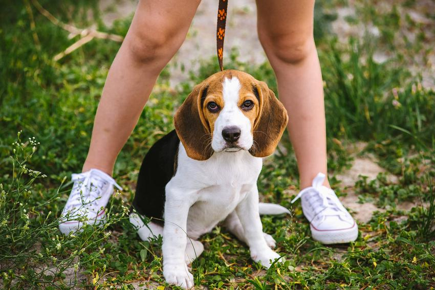 Pies podczas spaceru, a także skuteczne porady i sposoby, jak oduczyć psa sikania w domu