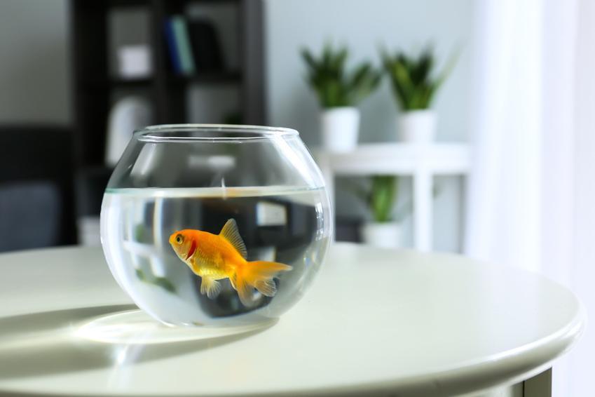 Złota rybka w kuli z wodą zamiast w akwarium, a także jakie rybki do kuli wybrać