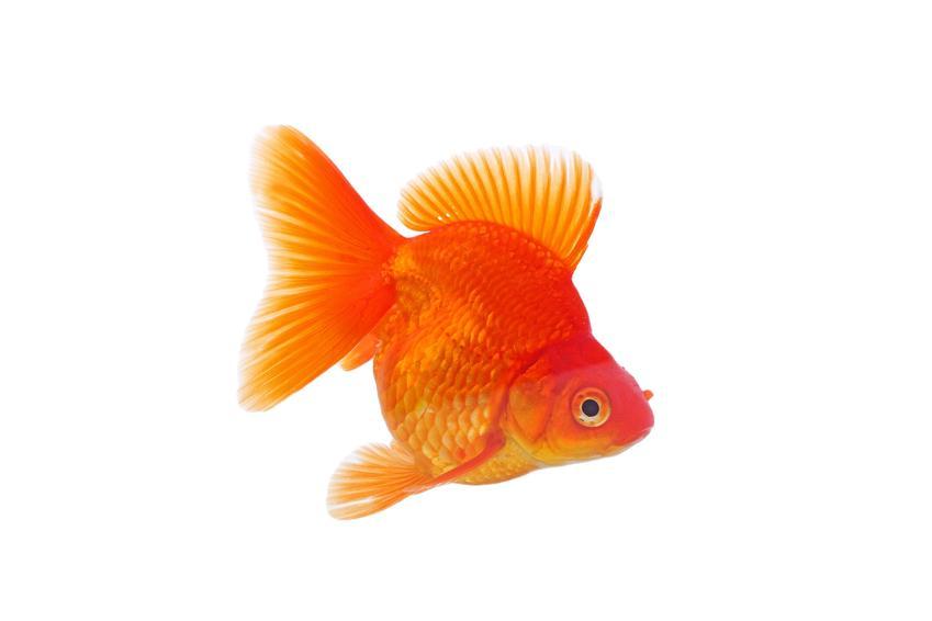 Złota rybka ryukin na białym tle, a także porady jakie rybki do kuli wybrać