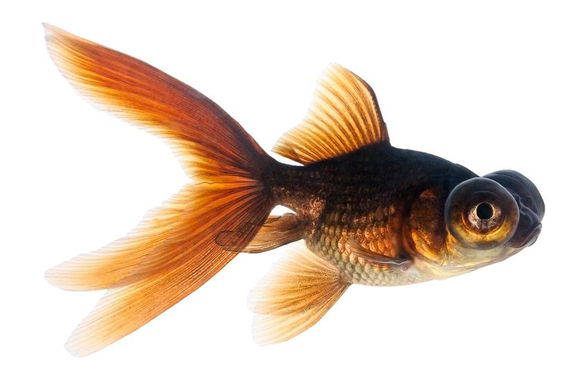 Rybka teleskop na białym tle, a także porady jakie rybki do kuli wybrać