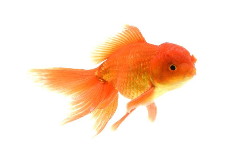 Rybka welen w kolorze złotym na białym tle, a także porady jakie rybki do kuli wybrać