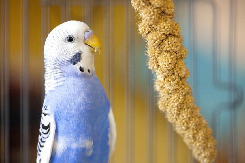Papuga w klatce przy kolbie jedzenia, a także pokarm dla ptaków dzikich i domowych