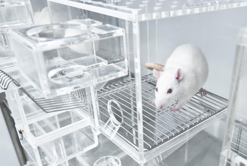 Biała klatka dla szczura domowego i szczur w klatce oraz polecane klatki dla szczurów