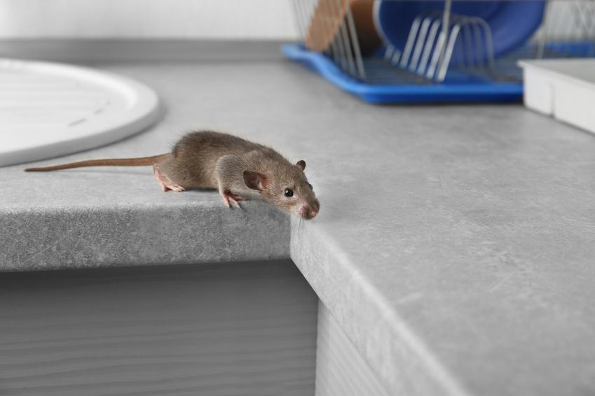 Mysz w domu, a także odstraszacz myszy, elektroniczny, ultradźwiękowy, opinie