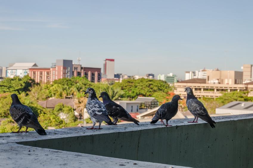 Gołębie na balkonie, a także trutka na gołębie, trucizna, czy trutka na szczury działa na gołębie