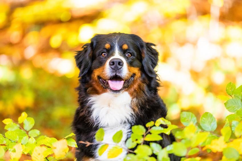 Pies rasy owczarek pasterski na żółtym tle liści, a także jego charakter i cena