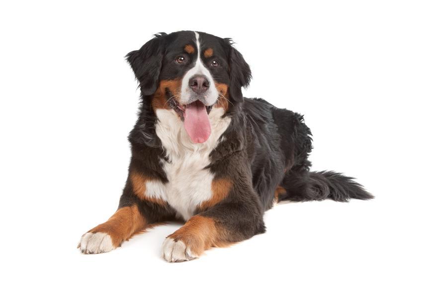 Pies rasy berneński pies pasterski na białym tle, a także jego charakter i cena