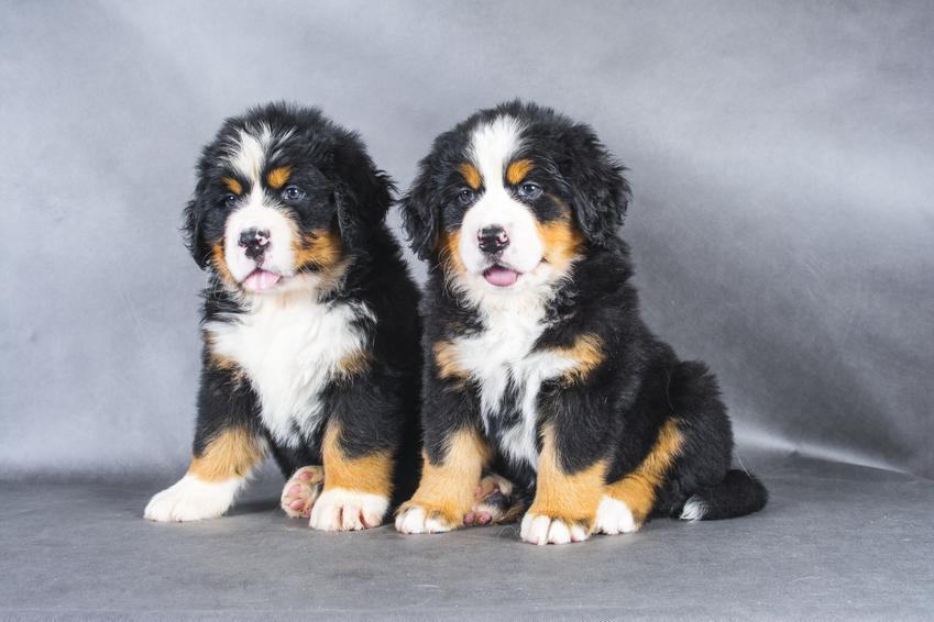 Dwa szczeniaki rasy owczarek pasterski, czyli berneński pies pasterski, hodowla i cena