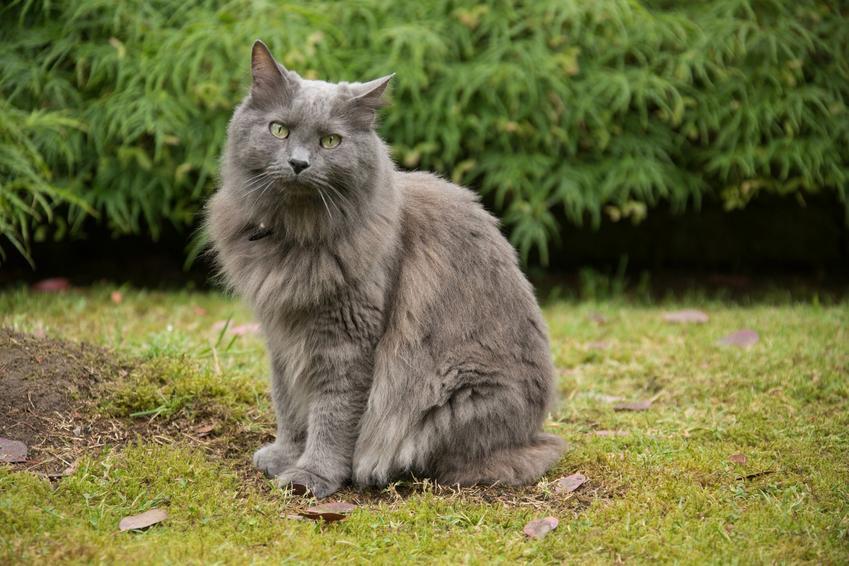 Kot nebelung na trawniku, a także jego wychowanie, opis, charakter i cena
