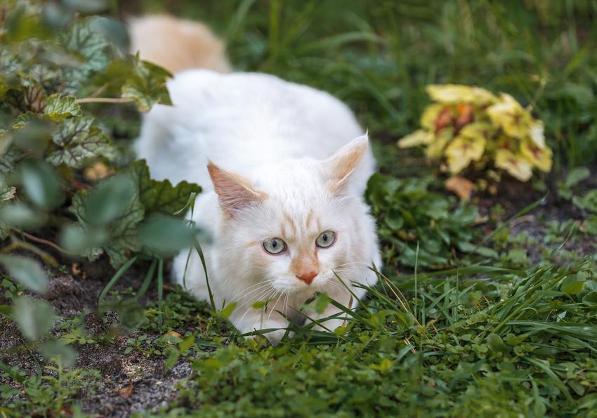 Kot turecki van na trawniku, a także jego wychowanie, opis, charakter i cena