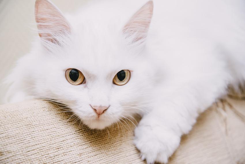 Kot turecki van na kanapie w domu, a także jego charakter, usposobienie, cena i hodowla