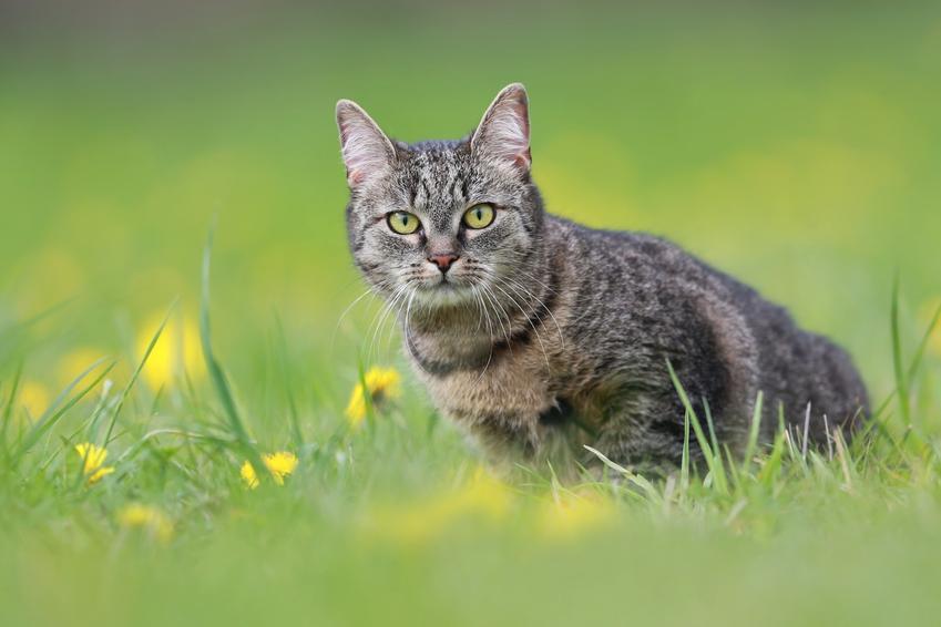 Kot europejski na trawniku, a także jego wychowanie, opis, charakter i cena