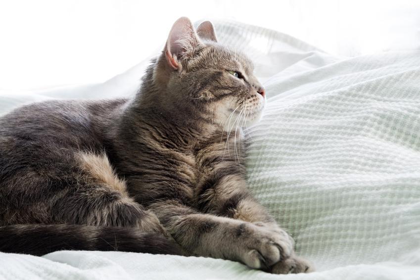 Kot europejski na kanapie w domu, a także jego charakter, usposobienie, cena i hodowla