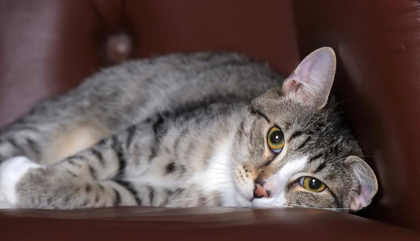 Kot europejski krótkowłosy na kanapie w domu, a także jego charakter, usposobienie, cena i hodowla