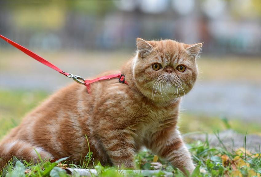 Kot egzotyczny na smyczy na trawniku, a także jego wychowanie, opis, charakter i cena
