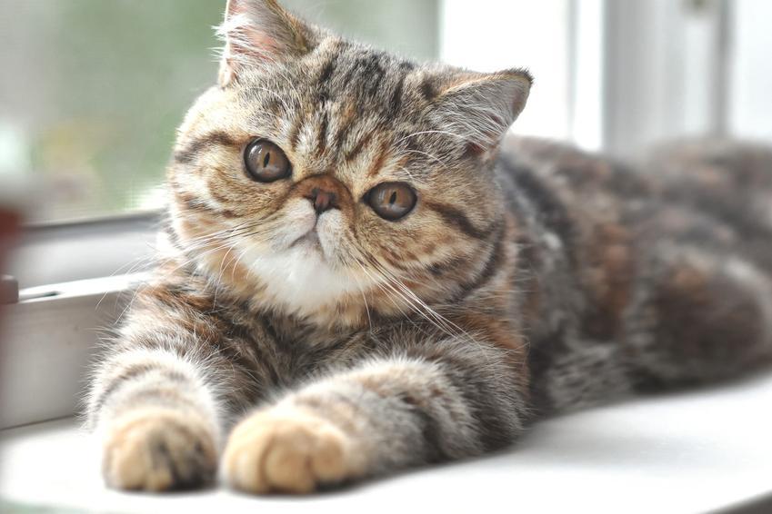 Kot egzotyczny leżący na parapecie, a także hodowla i cena kota egzotycznego