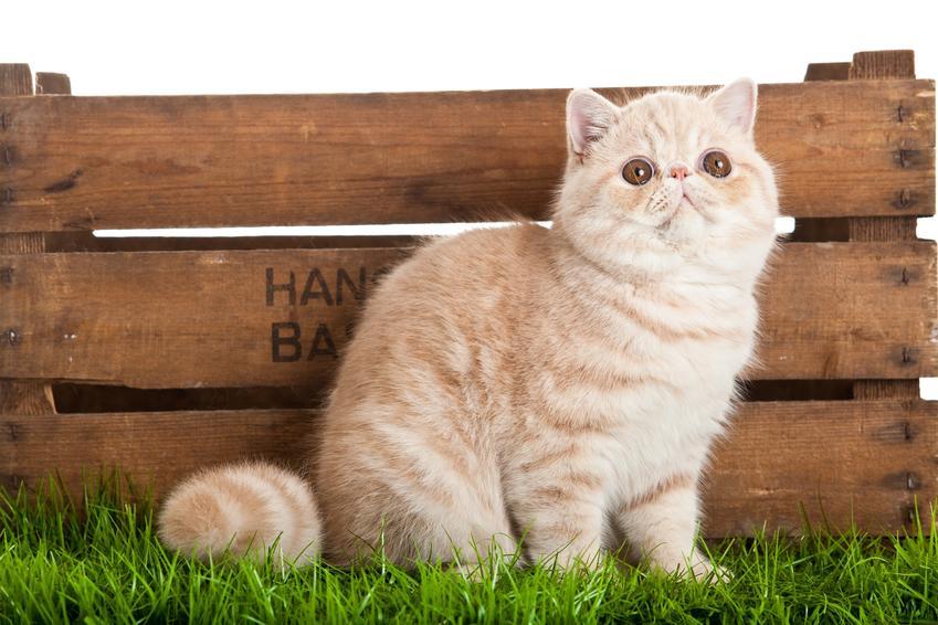 Kot egzotyczny na trawniku, a także hodowla, opis i cena kota egzotycznego