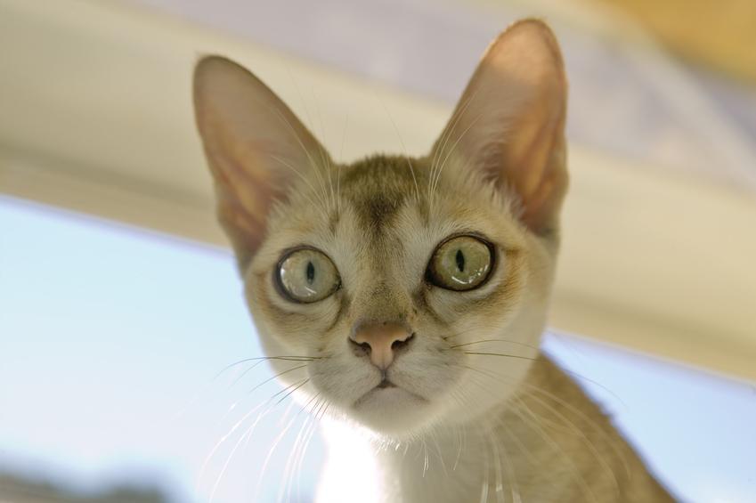 Kot singapurski w domu, a także jego charakter, usposobienie, cena i hodowla