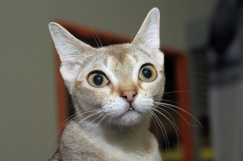 Kot singapurski w domu, a także hodowla, opis i cena kota singapurskiego