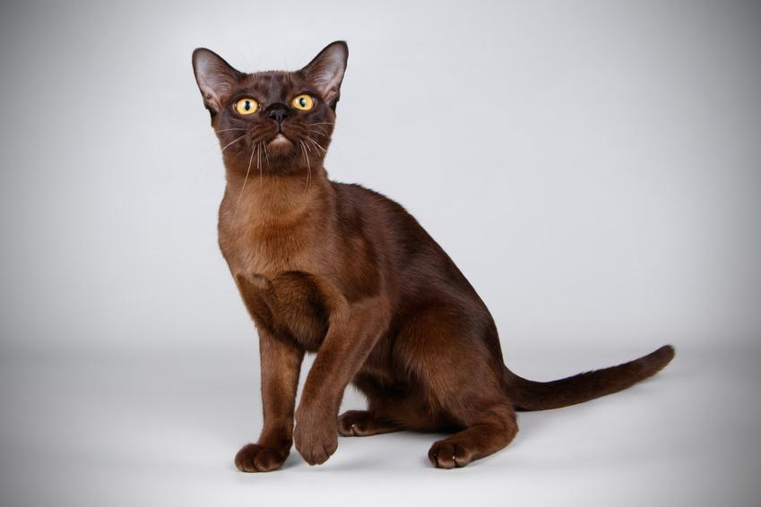 Kot burmski na białym tle, a także jego wychowanie, opis, charakter i cena