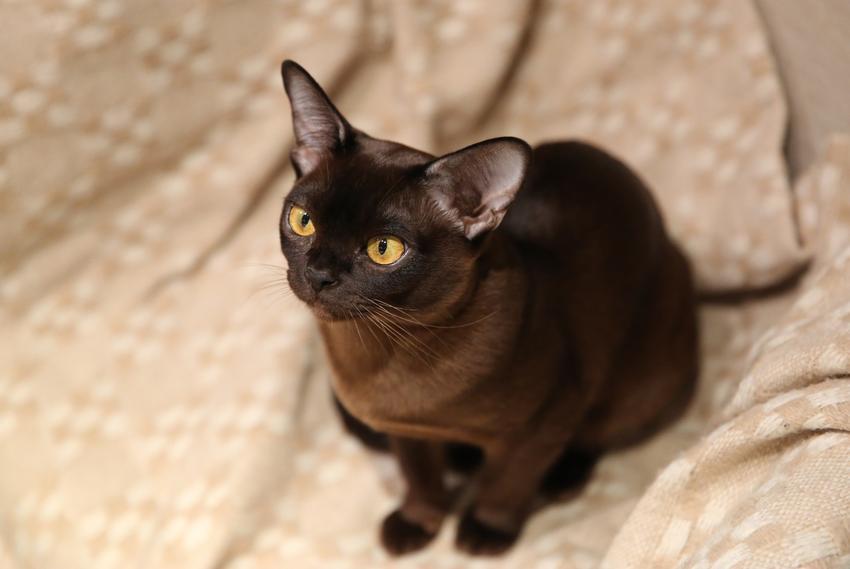 Kot burmski na kanapie w domu, a także jego charakter, usposobienie, cena i hodowla