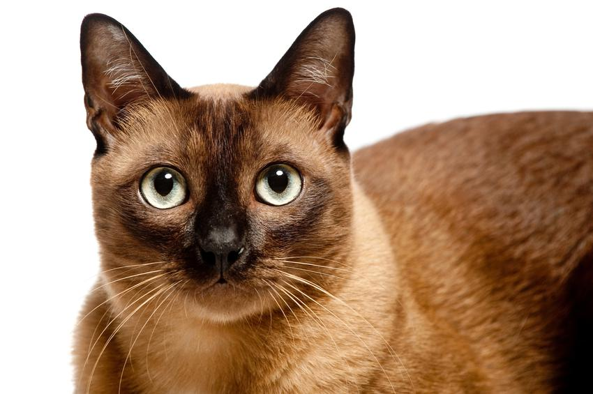 Kot burmski na białym tle, a także hodowla i cena kota burmskiego