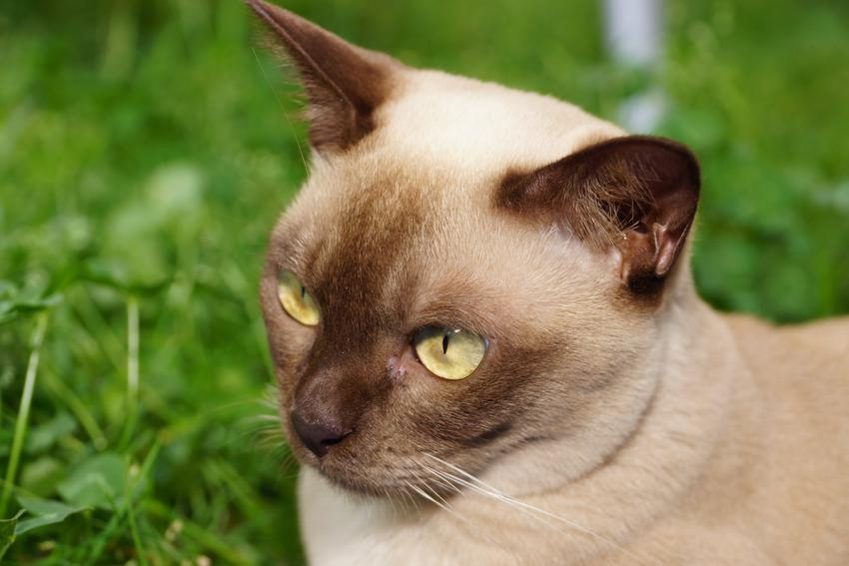 Kot burmski na trawniku, a także hodowla, opis i cena kota burmskiego