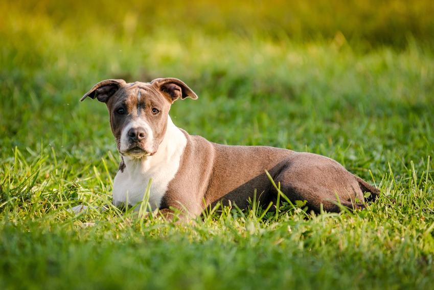 Amerykański staffordshire terrier leżący w trawie, a także polecana hodowla amstaffa w Polsce