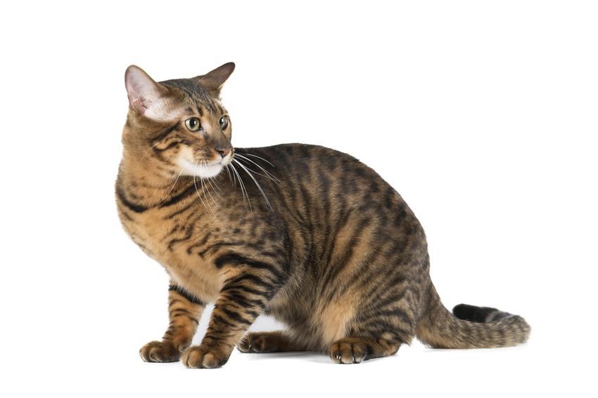 Kot toyger na białym tle, a także jego wychowanie, opis, charakter i cena