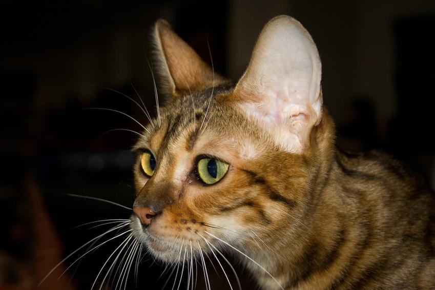 Kot toyger na czarnym tle, a także jego charakter, usposobienie, cena i hodowla