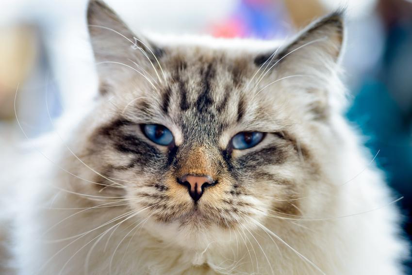 Kot ragamuffin na zdjęciu portretowym, a także jego charakter, usposobienie, cena i hodowla
