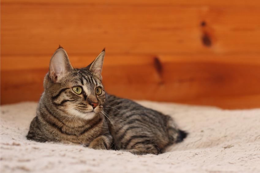 Kot manx na kanapie w domu, a także jego charakter, usposobienie, cena i hodowla