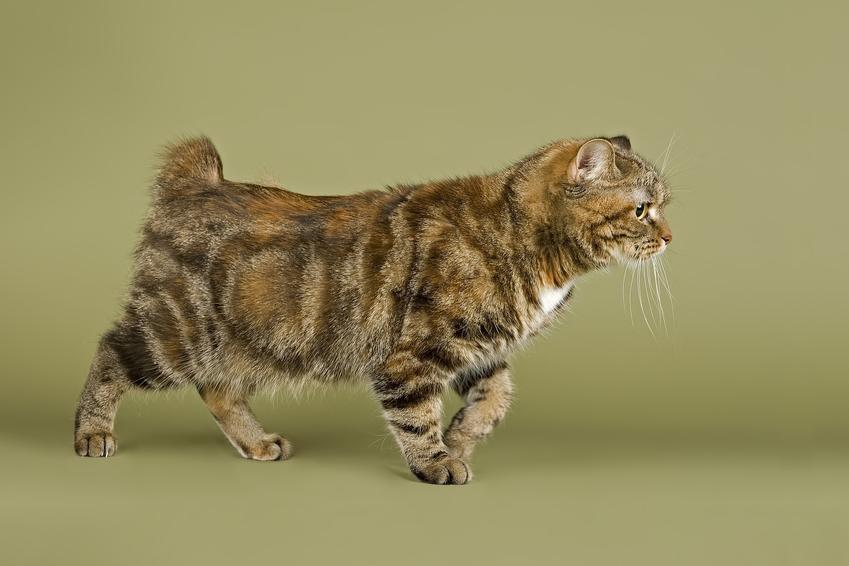 Kot manx na beżowym tle, a także jego wychowanie, opis, charakter i cena
