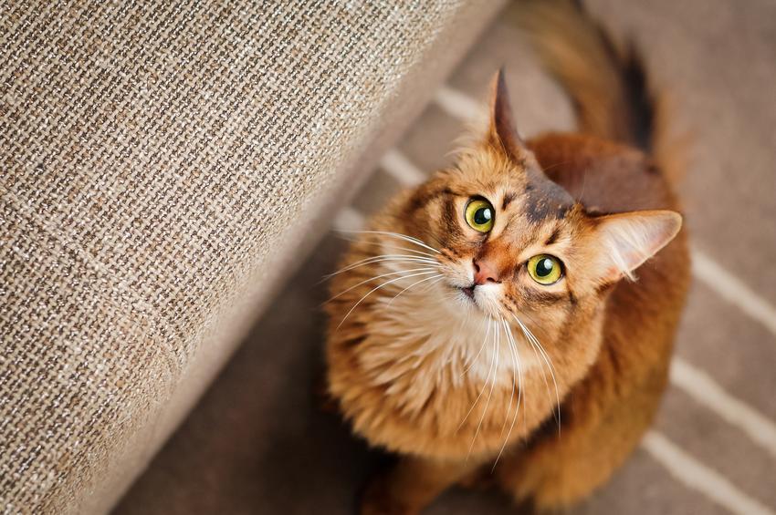 Kot somalijski na podłodze w domu, a także jego charakter, usposobienie, cena i hodowla