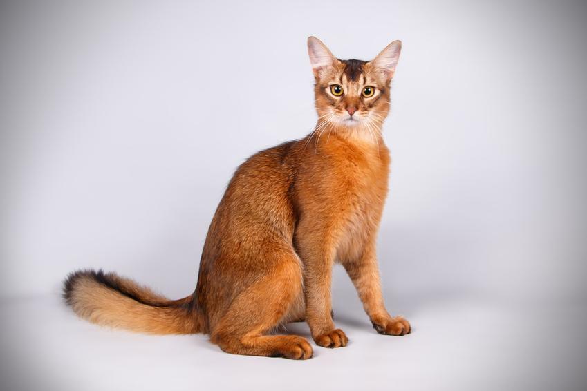 Kot somalijski na białym tle, a także jego wychowanie, opis, charakter i cena