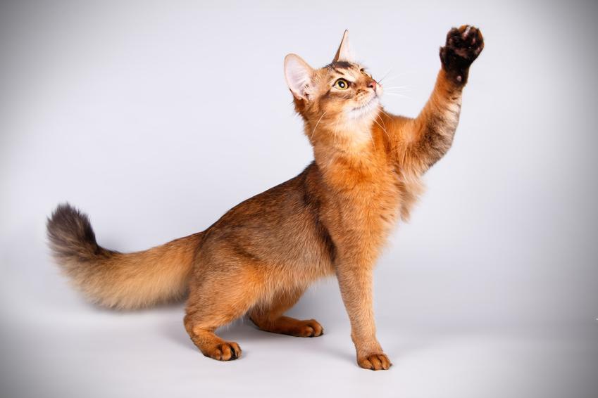 Kot somalijski na szarym tle, a także hodowla i cena kota somalijskiego