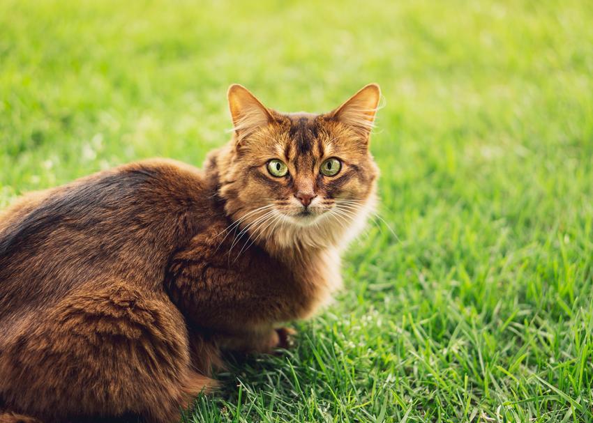 Kot somalijski na trawniku, a także hodowla, opis i cena kota somalijskiego