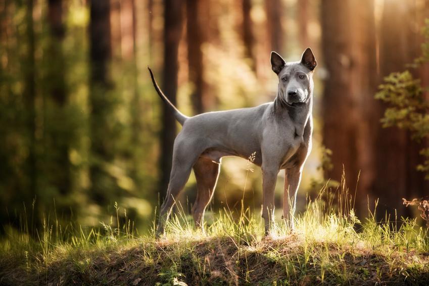 Pies rasy thai ridgeback w lesie z profilu oraz jego opis, cena i wychowanie