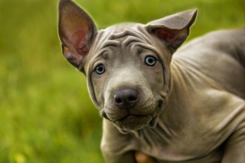 Pies rasy thai ridgeback na tle zieleni, a także jego charakter, hodowla i cena